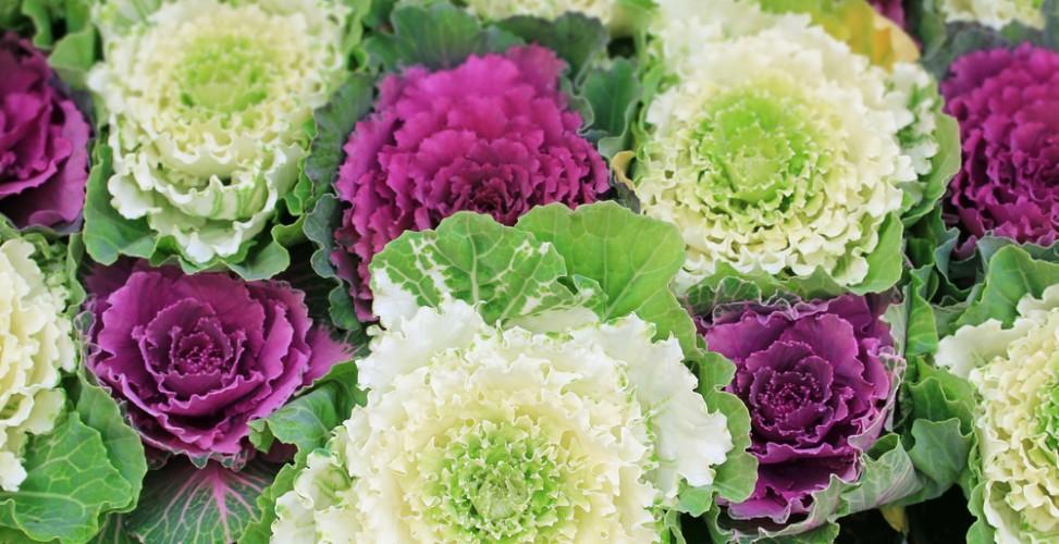 Декоративныя капуста приобретает яркий вид только ближе к осени