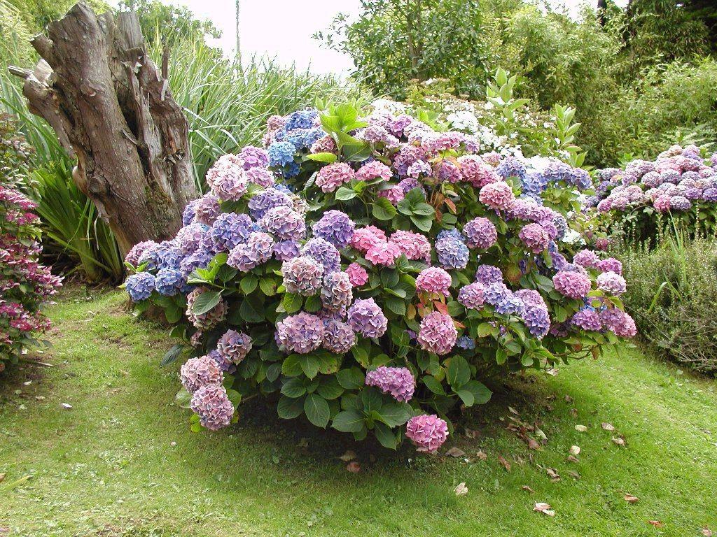 Кустарник цветет с ранней весны и в течение всего лета