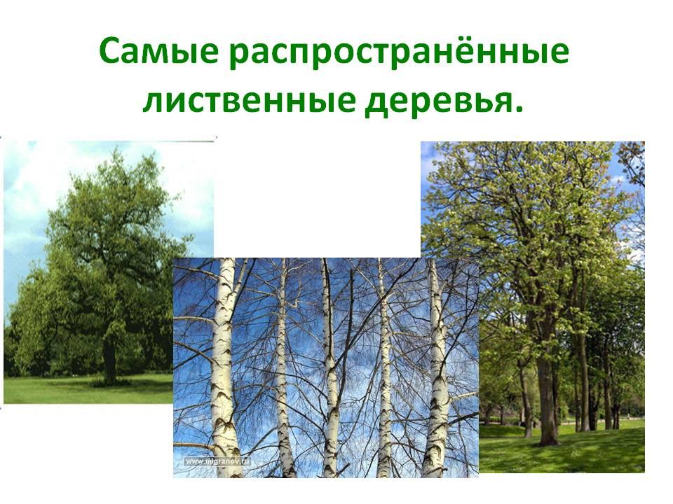 Самые распространённые лиственные деревья для изготовления декоративной щепы
