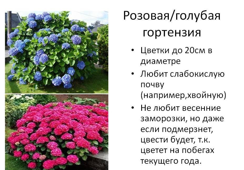 Описание розовой и голубой гортензий