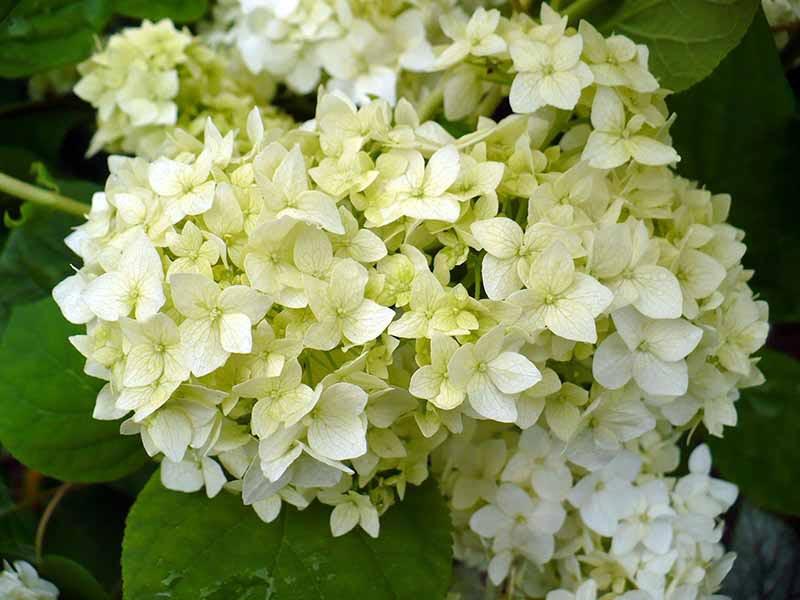 Гортензия древовидная цветет с июля до глубокой осени