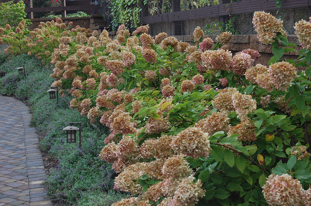 Гортензии высаживаются на клумбе так, чтобы цветы создавали узоры