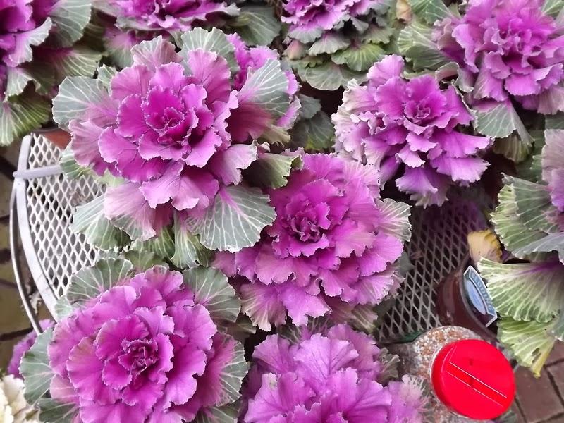 Листья декоративной капусты образуют многоцветную красивую розетку, напоминающую розу