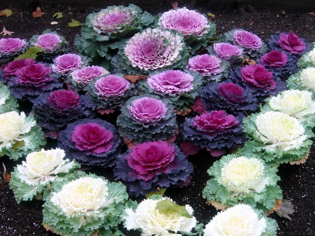 Декоративную капусту можно использовать для создания необычных композиций