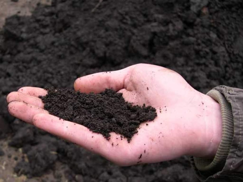 Перед высадкой рассады в грунт в лунки добавляют чернозем