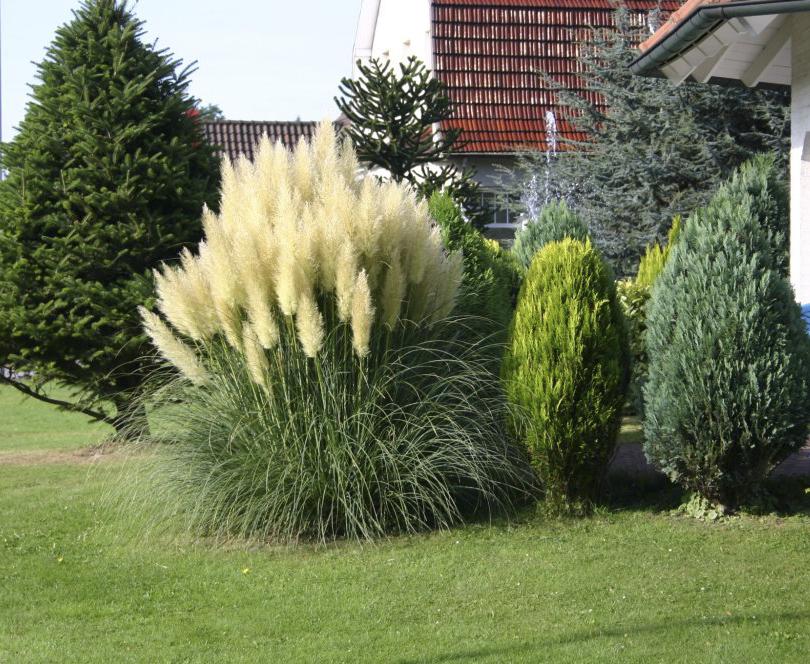 Пампасная трава серебристая в ландшафтном дизайне