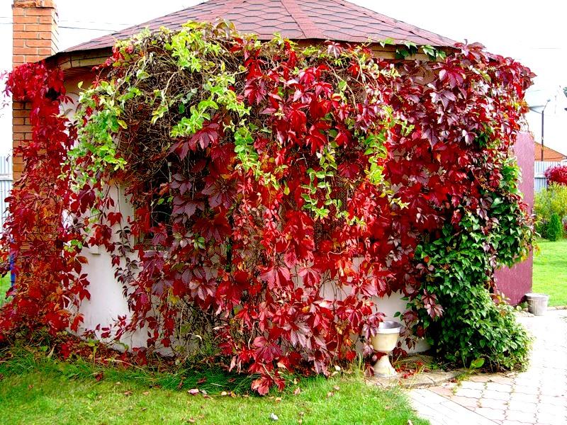Девичий виноград используют для создания живых изгородей и арок