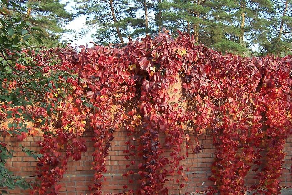 Девичий виноград не боится заморозка
