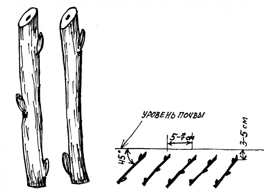 Схема размножения винограда черенками