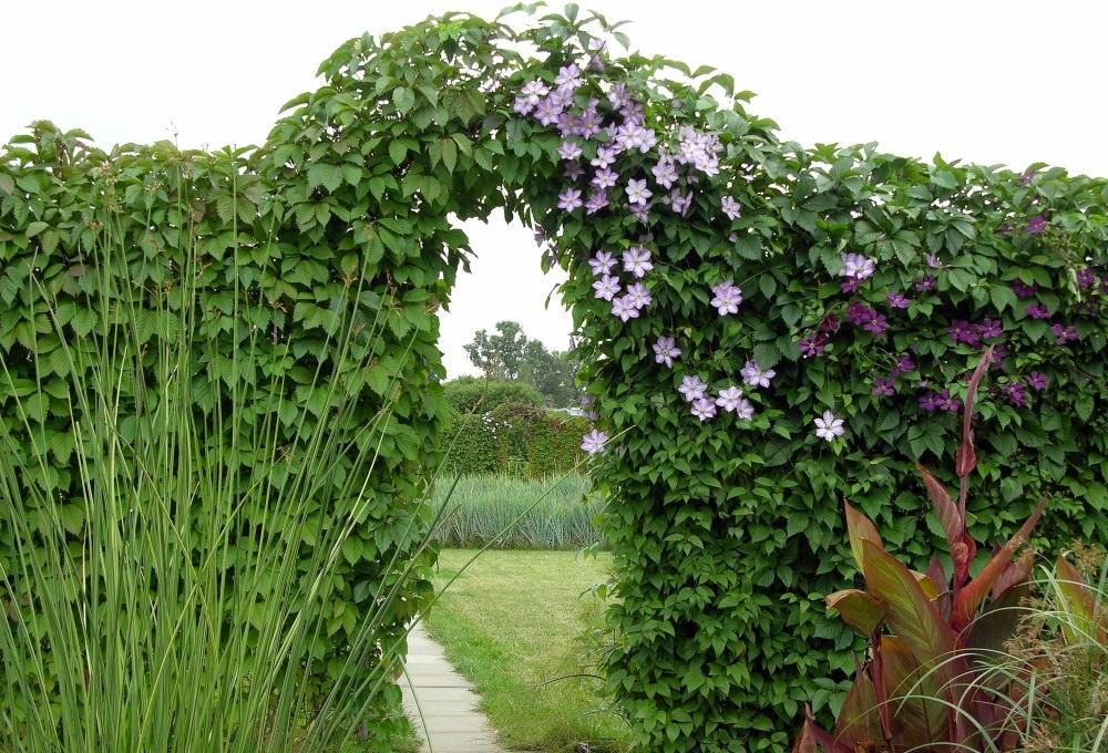 Дизайнеры часто используют девичий виноград для создания арок