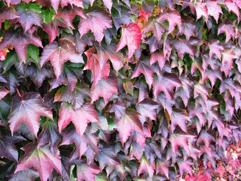 Девичий виноград отлично разрастется вдоль каменной стены