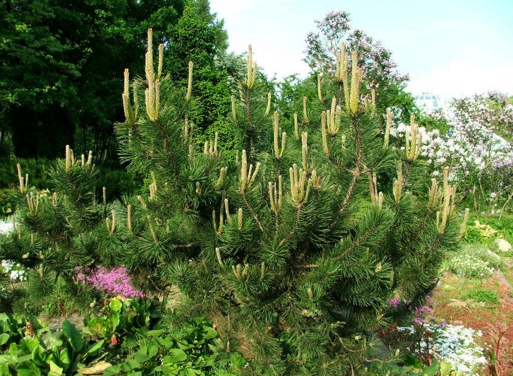 Горная сосна широко используется в ландшафтном дизайне