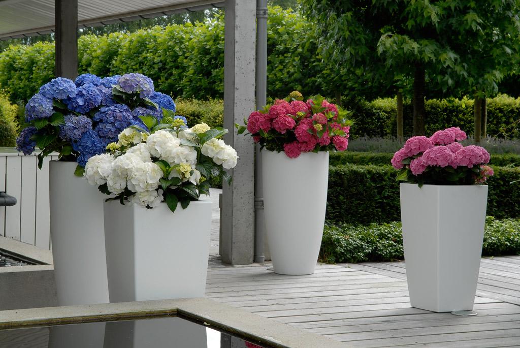 Можно разместить низкорослые гортензии в контейнерах или цветочных горшках яркой расцветки