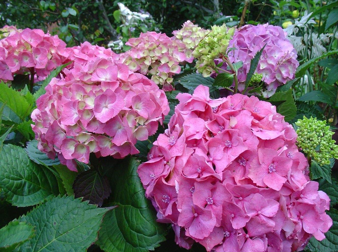 Крупнолистные гидрангеи цветут только в июле и августе