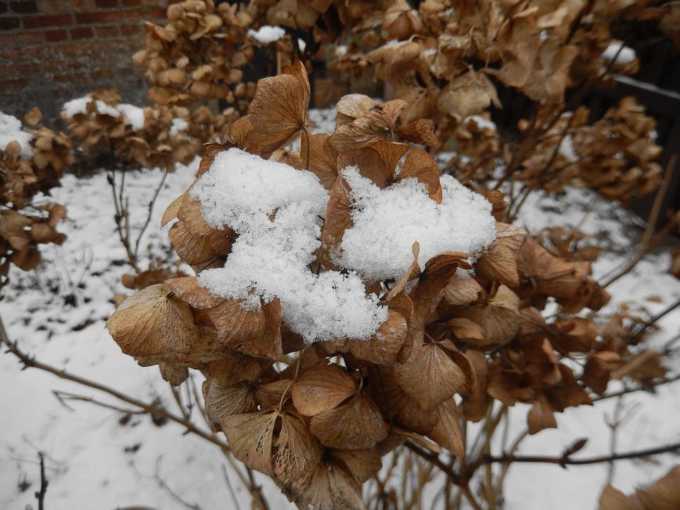 Гортензию на зиму следует хорошо укрывать