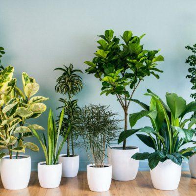 благоприятные для гостиной растения по фен-шуй