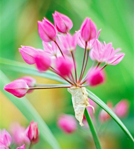 Цветок Астильбы