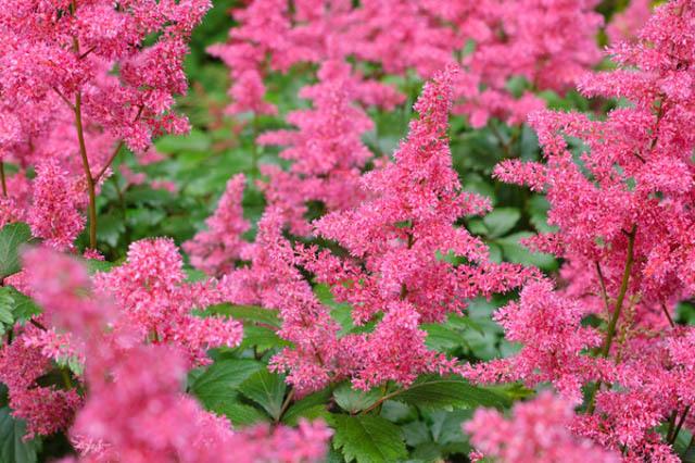 Нежно розовые цвета Астильбы