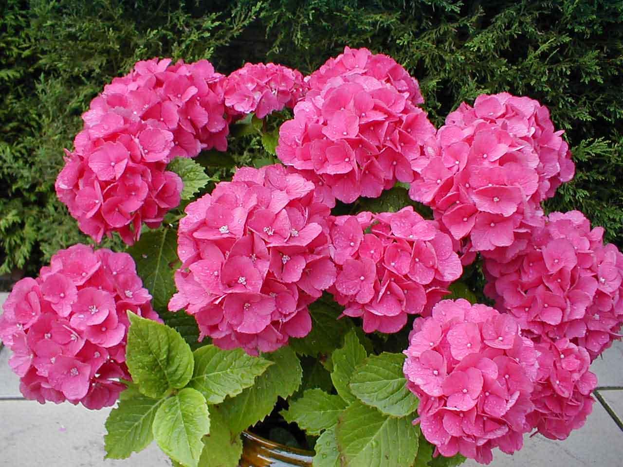 Разные виды гортензии часто можно увидеть среди растений на цветочных выставках