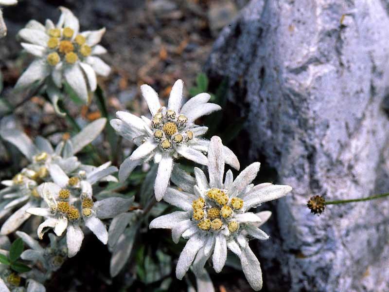 Эдельвейс многолетник - символ Альп