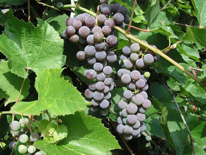 Винограда Изабелла в ландшафтном дизайне