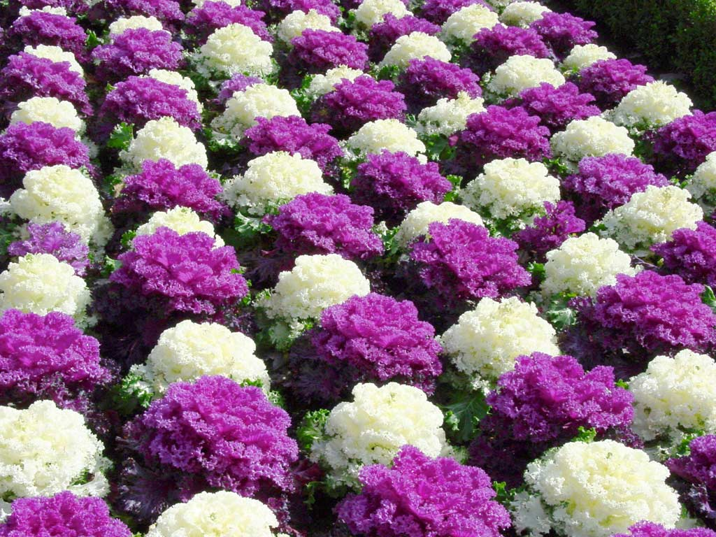 Чередование белых и цветных розеток позволяет высадить растения в шахматном порядке