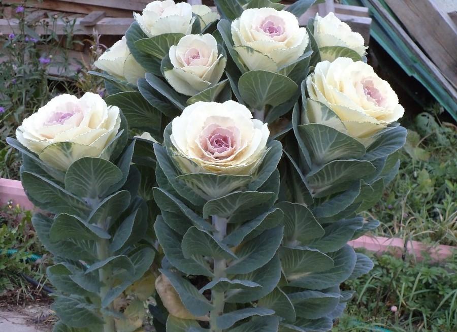 Высокорослые сорта капусты могут применяться в объемных композициях в виде декорирующего элемента
