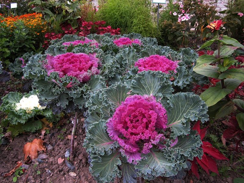 Огромные розетки декоративной капусты великолепно гармонируют с мелкими цветочками бегонии