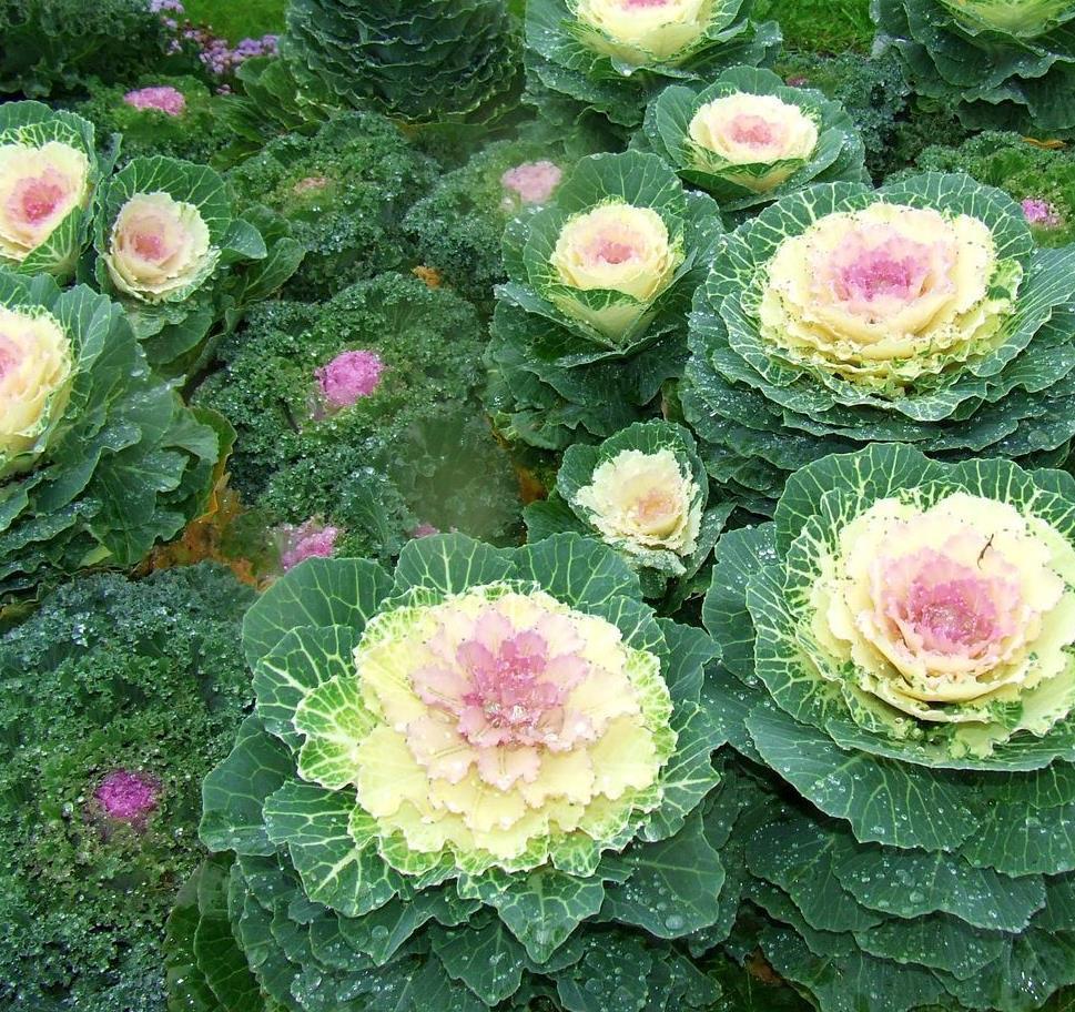 Ландшафтные дизайнеры часто совмещают 2 вида капусты