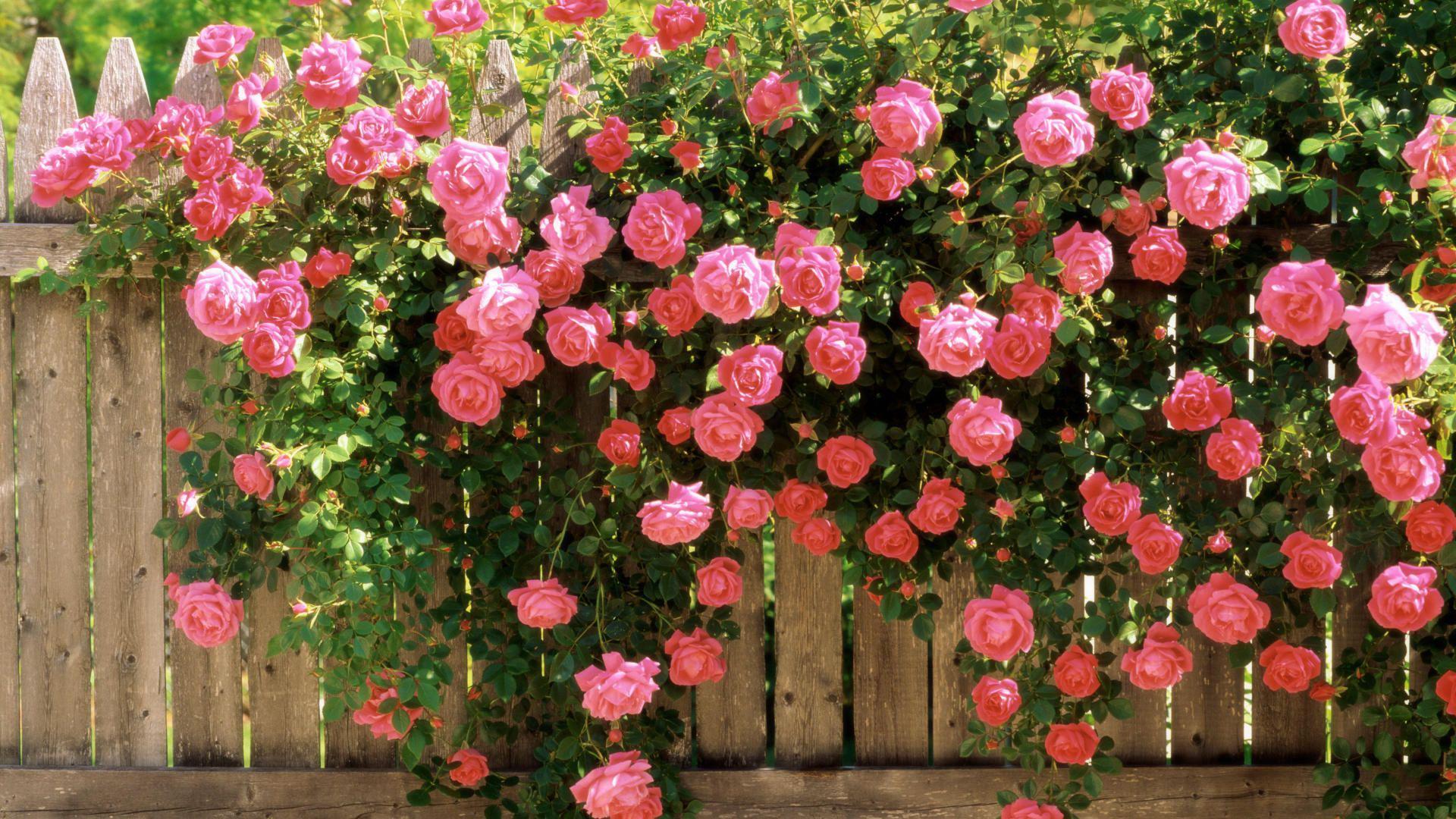 Плетистые розы в ландшафтном дизайне
