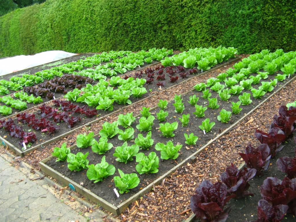 Самостоятельно оформленный декоративный огород в ландшафтном дизайне