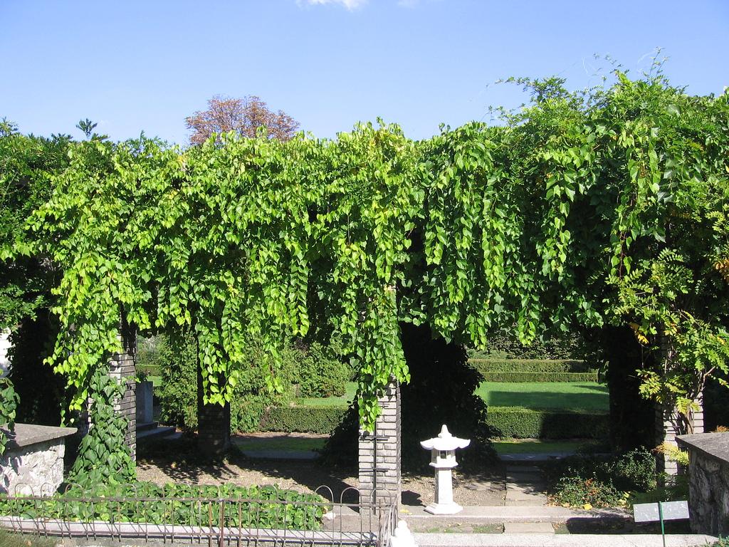 Девичий виноград очень хорош в качестве почвопокровного ползущего растения