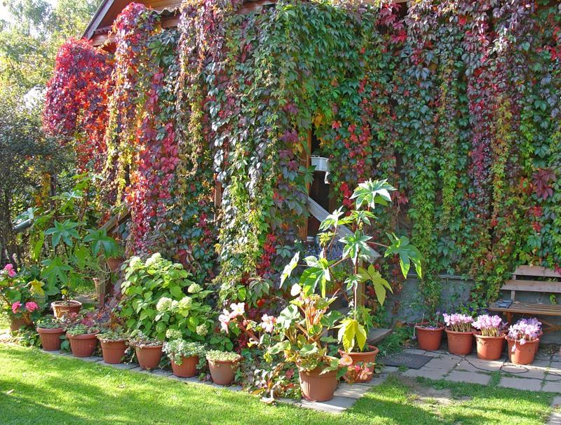 Декоративный виноград стали успешно использовать для озеленения в российском климате
