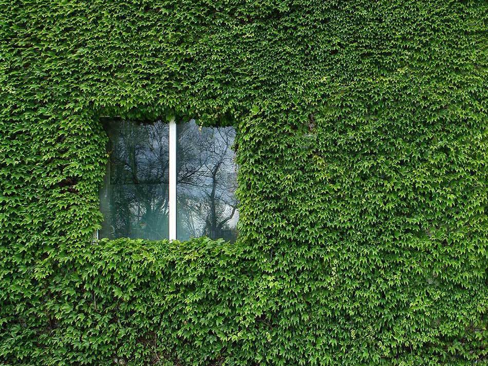 Лиана пускает корни в любом месте, где соприкасается с удобной поверхностью, и прочно обхватывает опору