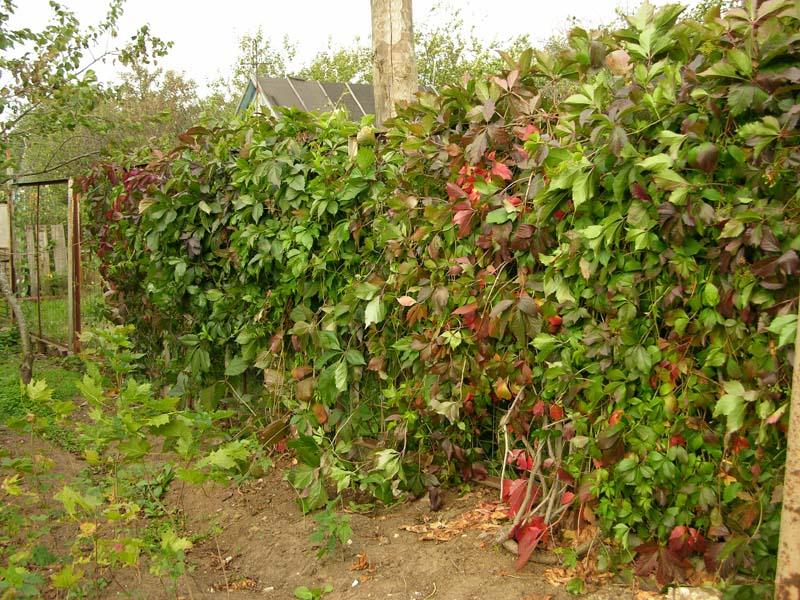 Живые изгороди с помощью винограда можно устраивать очень легко