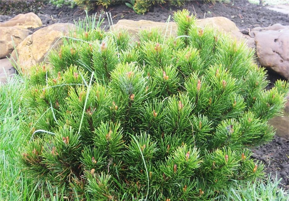Сразу после высадки кустарника следует подкормить почву специальными удобрениями для хвойных пород