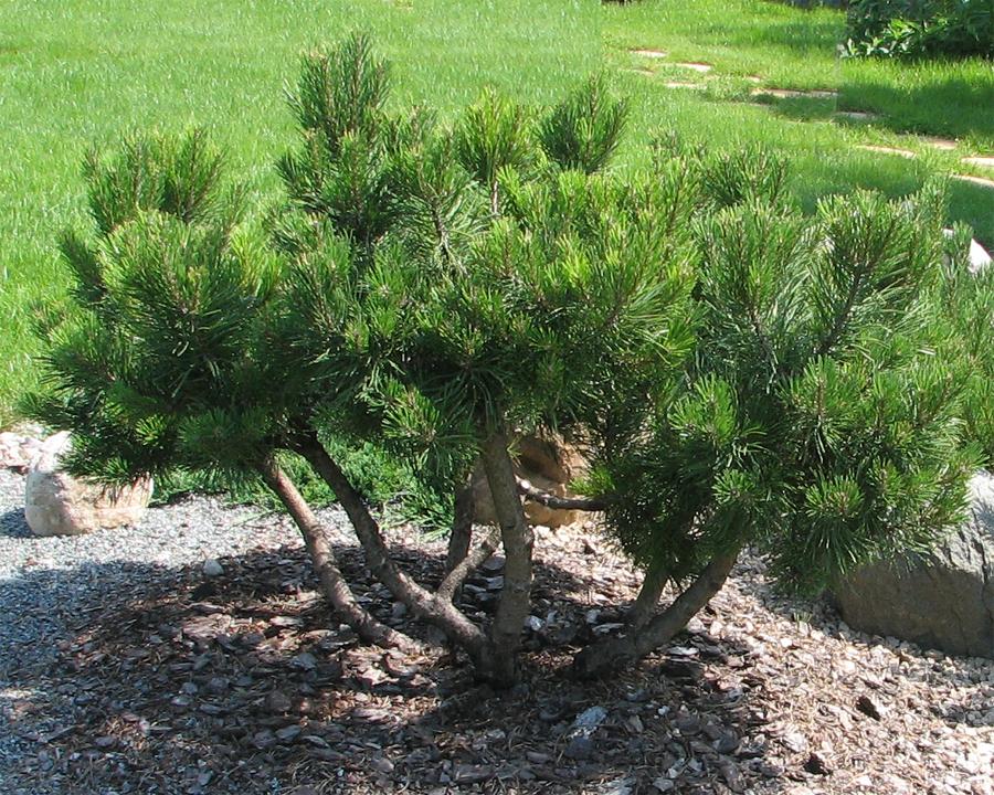 Мугус вырастает примерно на десять сантиметров в ширину и на двенадцать — в высоту