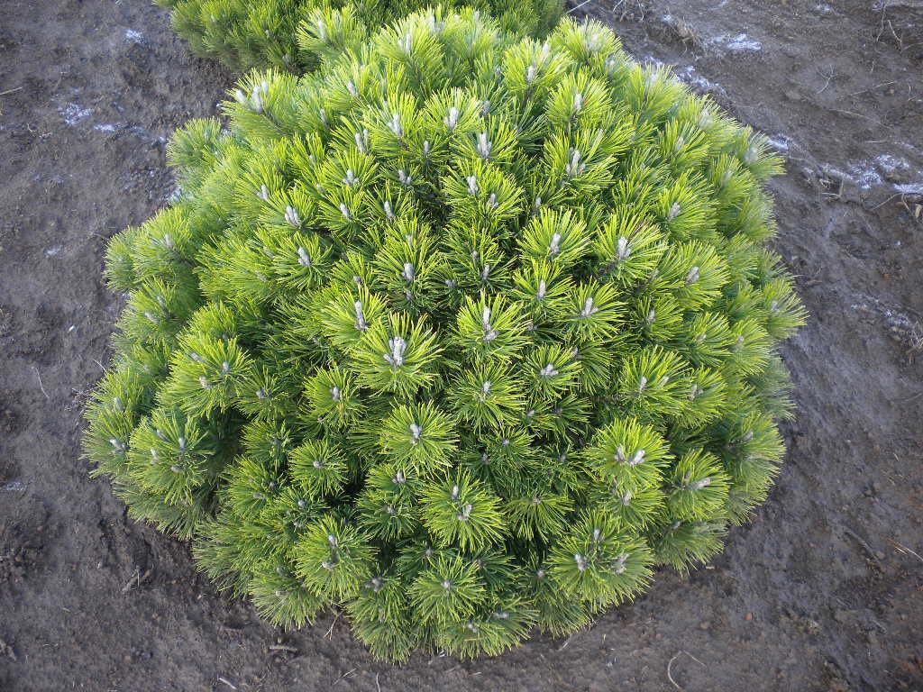 Высота кустарника пумилио — 1,5-2 метра