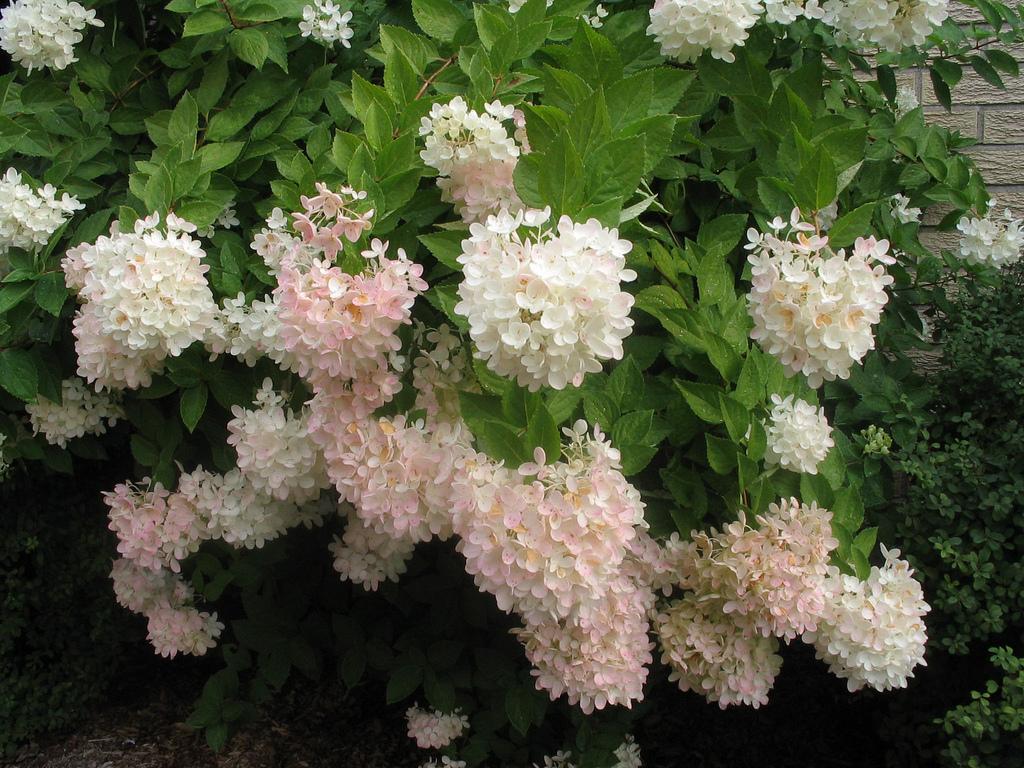 Соцветия метельчатых гортензий очень красивые и крупные