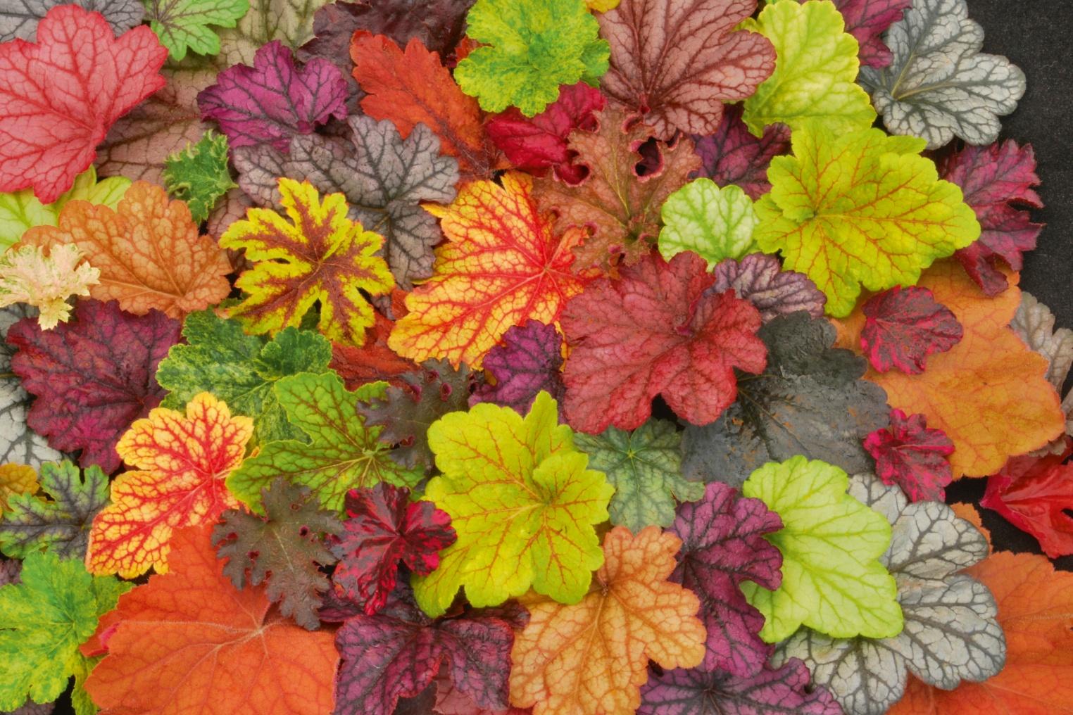 Гейхеру достаточно часто применяют для оформления бордюров, клумб или цветников