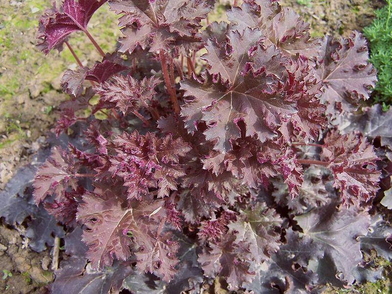 Пересадку гейхеры можно делать ранней весной или в конце осени