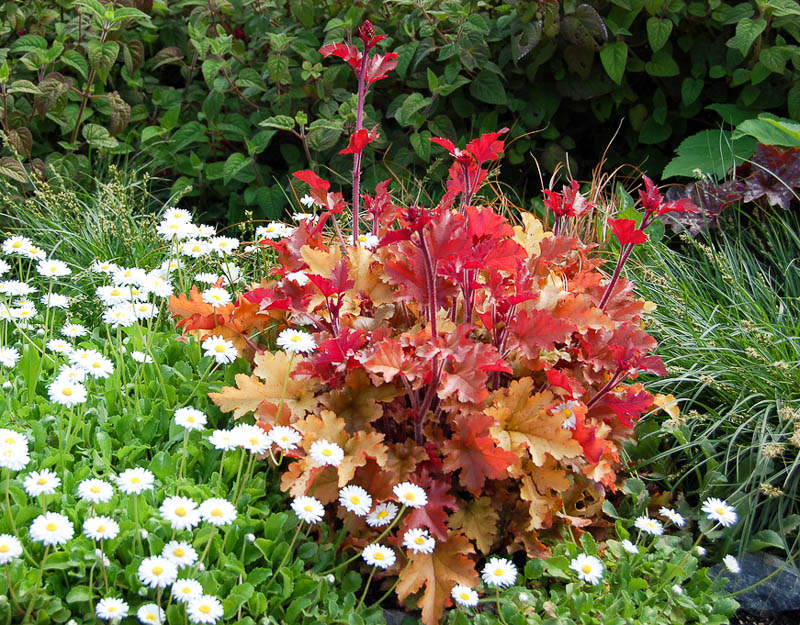 Цветет гейхера практически с начала лета и до поздней осени