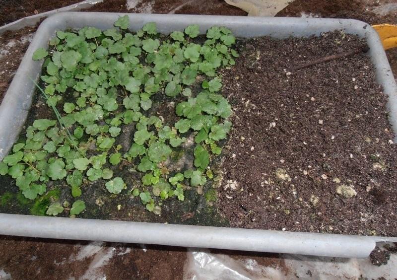 Посев гейхеры можно начинать в конце марта или в начале апреля