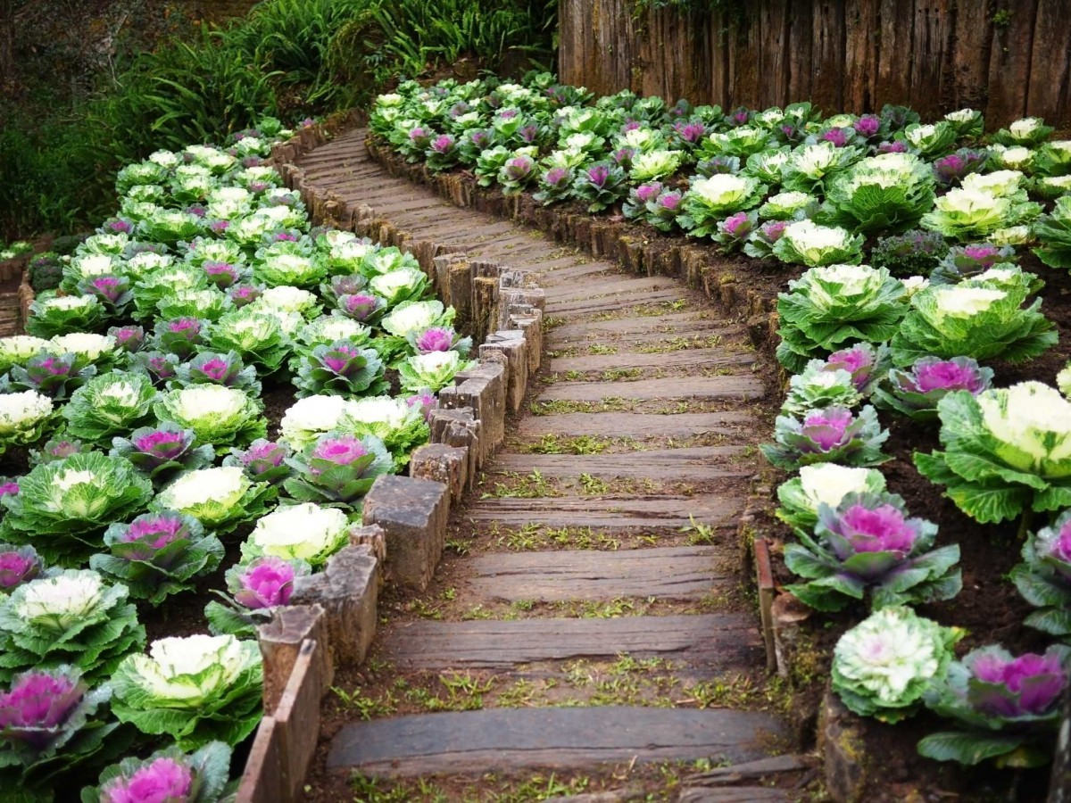 Грядки с декоративной капустой