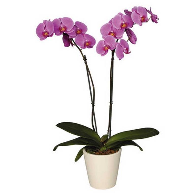 Орхидея по феншую